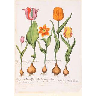 Tulip Botanical II, Basilius Besler