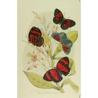 19th-C. Catagramma Condomanus