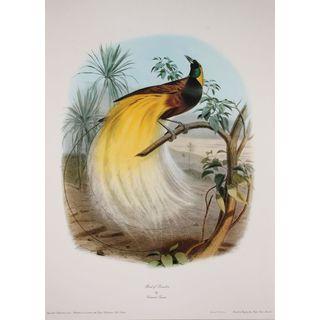 Bird of Paradise, Edouard Travies