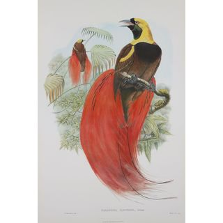 Paradisea Raggiana, John Gould
