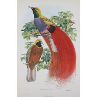 Paradisea Decora, John Gould