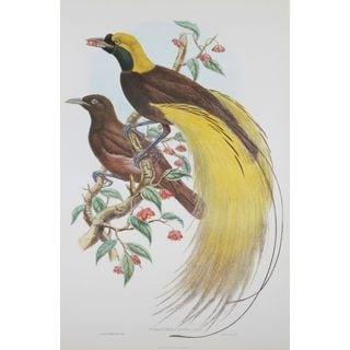 Paradisea Apoda, John Gould