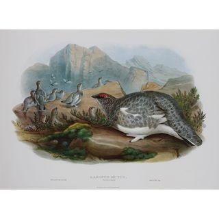 Lagopus Mutus, John Gould