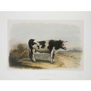 Vache Normande, David Low