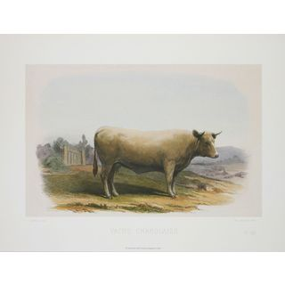 Vache Charolaise, David Low