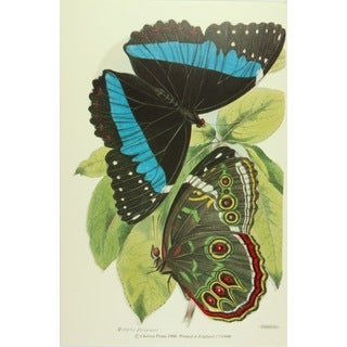 19th-C. Morpha Helenor Print Art