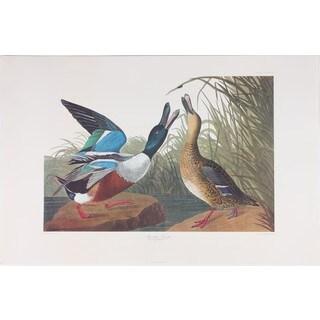 Shoveller Duck, Audubon
