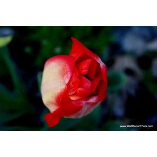 Tulip Blush Print Wall Art