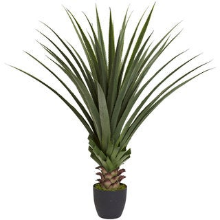 4-foot Spiked Agave Plant