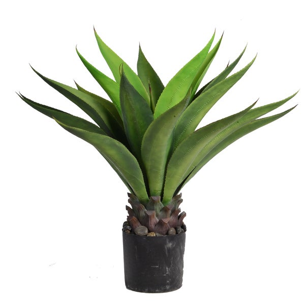 32-inch Tall Giant Aloe
