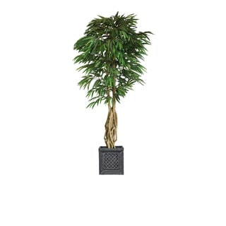 84-inch Tall Willow Ficus with Multiple Trunks in Planter