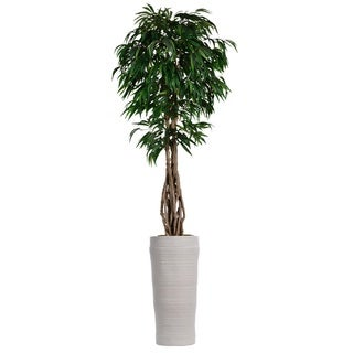 99-inch Tall Willow Ficus with Multiple Trunks in Planter