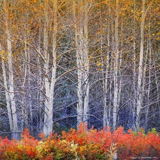 Marmont Hill - Aspens And Briar by Chris Vest Painting Print on Canvas