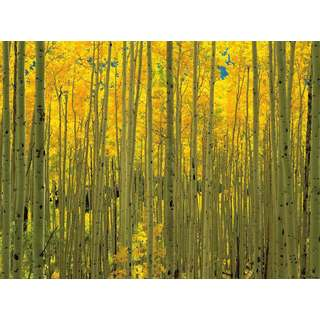 Selections by Chaumont Glass Art Aspens in White River Park