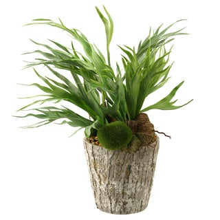 Mini Staghorn Fern in Weathered Oak Look Cement Planter