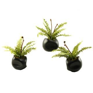 Mini Boston Fern in Ceramic Planter (Set of 3)