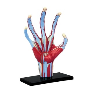 Tedcotoys Painted Hand Anatomy Model with Display Stand