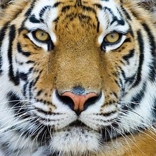 Benjamin Parker 'Tiger Color' Tempered Art Glass