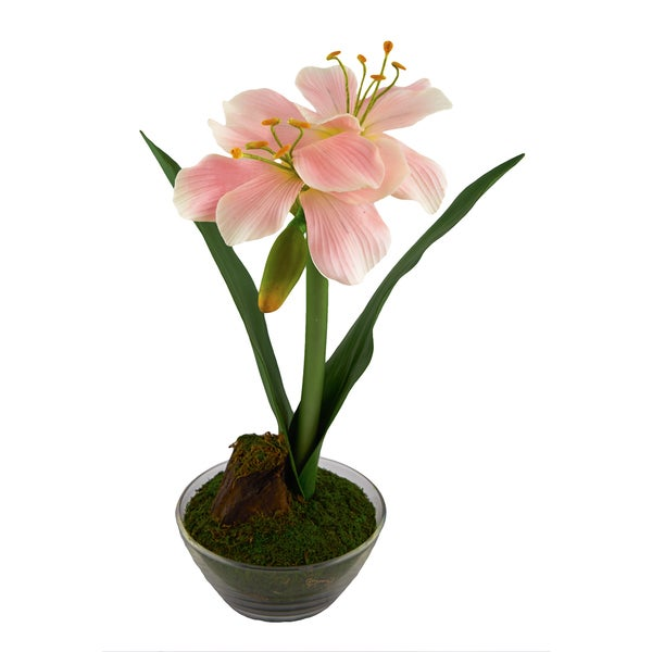Red Vanilla Pink 16-inch Amaryllis in 6-inch Clear Base