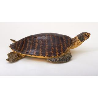 Brown Polystyrene High Sea Turtle