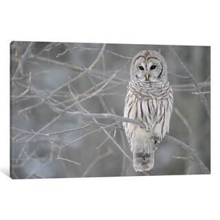 iCanvas Barred Owl on Branches by Unknown Artist Canvas Print