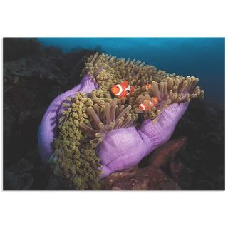 Marco Fierli 'Clown Fish Anemone' Coastal Decor on Metal or Acrylic
