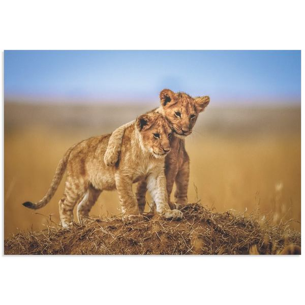 Jeffrey C. Sink 'Lion Cub Brothers' Lion Cub Art on Metal or Acrylic