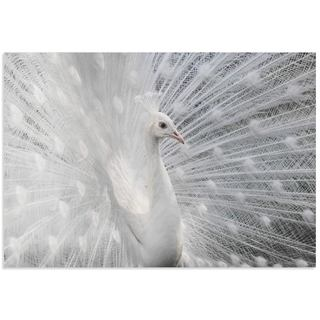 Victoria Ivanova 'Snow White Peacock' White Peacock Art on Metal or Acrylic