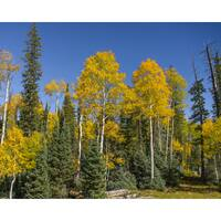 Stewart Parr 'Grand Canyon evergreen and Aspen Trees' Unframed Photo Print