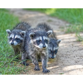 Stewart Parr 'Three Raccoons Along the Path' Unframed Photo Print