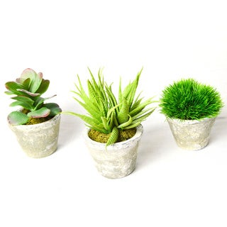 Succulents in Grey Concrete Aged Pots (Pack of 3)