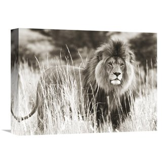 Global Gallery Anonymous 'Male lion' Stretched Canvas Artwork
