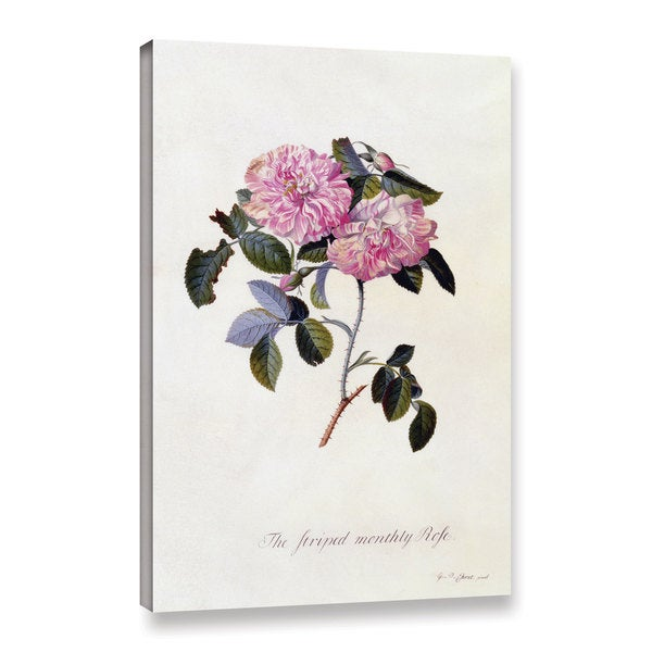 Georg Dionysius Ehret's ' The Striped Monthly Rose, 1745' Gallery Wrapped Canvas - Pink