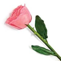 Lacquer Dipped Natural Pink Rose with Green Leaves and Stem