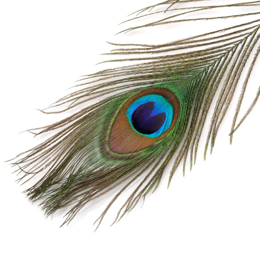 Peacock Eye Feathers 10-12 per 100