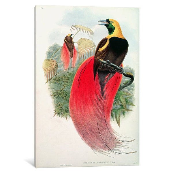 iCanvas 'Bird of Paradise, engraved' by T. Walter ' by John Gould Canvas Print