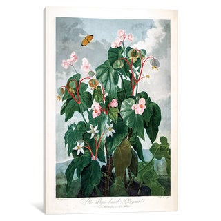 iCanvas Thornton's Temple Of Flora Series: The Oblique-Leaved Begonia by Philip Reinagle Canvas Print