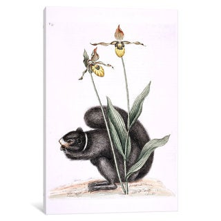 iCanvas Catesby's Natural History Series: Black Squirrel & Yellow Lady's Slipper by Mark Catesby Canvas Print