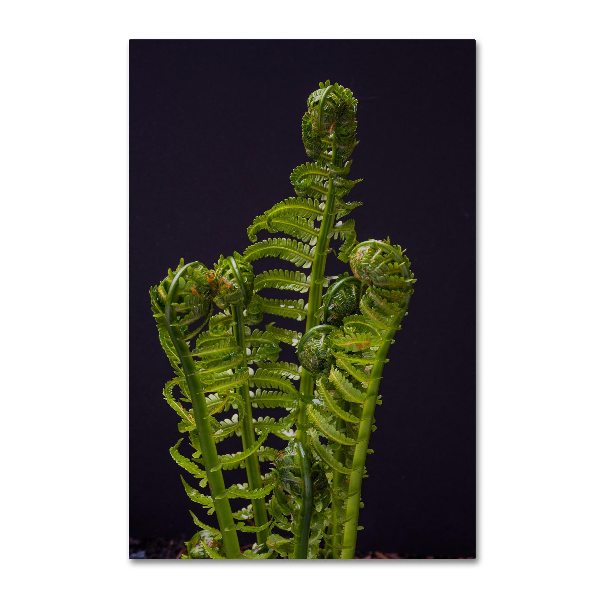 Trademark Kurt Shaffer 'Fern Fronds Unfolding II' Canvas ...