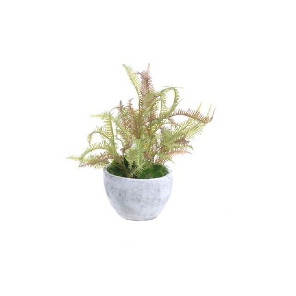 Gold Eagle Fern in Cement Pot with Moss