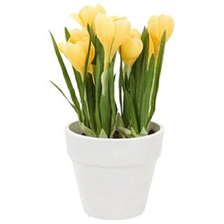 Gold Eagle Small Potted Crocus