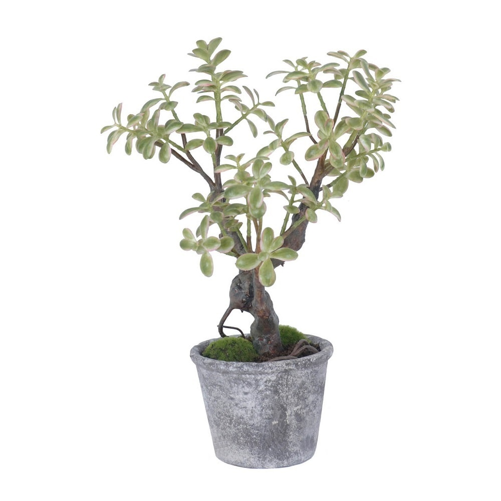 Gold Eagle Jade Potted Plant (green)