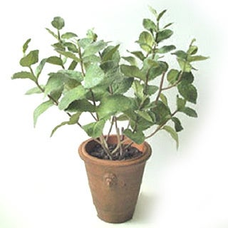 Gold Eagle Potted Basil with Soil (green)