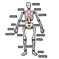Educational Insights 3-D Magnetic Demonstration Skeleton
