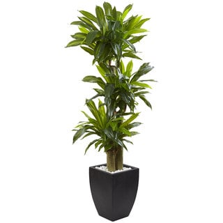 5.5-foot Corn Stalk Dracaena With Black Planter