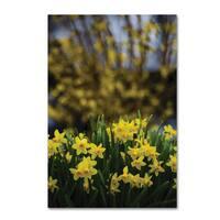 Kurt Shaffer 'Spring is Yellow Daffodils and Fosythia' Canvas Art