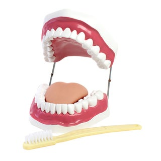 American Educational Products Oral Hygiene Model