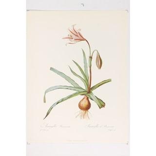 Amaryllis Broussonetii Fine Art Print by P J Redoute