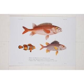 Holocentre Tiere premium Art Print of Fish Artwork by R.P. Lesson