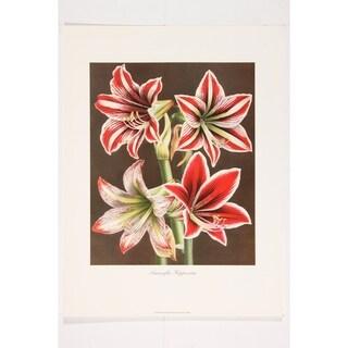 Amaryllis Hippeastra II premium Art Print of Flowers